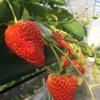 【日光ストロベリーパーク】いちご狩りで美味しいイチゴを味わおう!