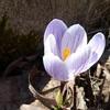 チオノドクサとクロッカスが咲きました。