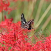 9/18/2017・今年も彼岸花とアゲハを撮りに飛鳥を歩いてきました