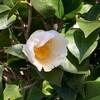 椿の花咲く頃