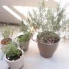 植物も夏バテ気味、ベランダ菜園のハーブも日陰へ