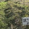 【畑】「耕す畑」の「耕さない畑」の比較実験の経過① 〜草を丁寧に刈る大切さ〜