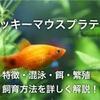 ミッキーマウスプラティの飼育方法!餌・混泳・繁殖・寿命徹底解説!