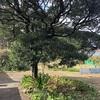 コクタンの木【龍郷】