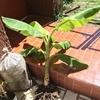 バナナの木とナチュラルな肥料