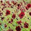 キクの季節がやってきた!秋に花咲くキク植物10選