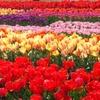 【新潟】赤・白・黄色・・・だけじゃないチューリップ畑♥