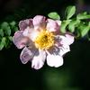 ばらばらと咲く、サンショウバラ