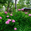 京都・深草- 藤森神社の紫陽花苑