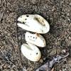 河原で見つけたトカゲの卵の殻