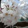 桜満開まであと少し