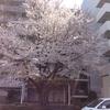 大桜、満開🌸