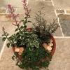 昨日出会った、ヘミジギアピンクサファイヤ・コロキアトネアスター・フィカスプミラミニマで寄せ植えを作りました