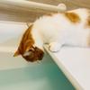 愛猫がお風呂のふたの上で暖をとる季節になりました。