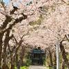 坂道を覆う桜トンネル  住三吉神社…