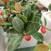 赤い実は不老長寿のシンボル!クリスマスやお正月にもぴったりな深紅の【チェッカーベリー】!