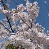 どのような年でもやがて春は来ますし桜も咲きますね