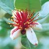今日の誕生花「フェイジョア」花は見るが、果物が見られない不思議!