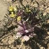 イチジク新芽 ハボタン花