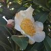 台湾椿の白い花