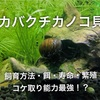 カバクチカノコ貝の飼育方法・餌・繁殖・寿命【おすすめコケ取り貝】