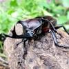 子供とカブトムシを幼虫から育てる!幼虫の育て方