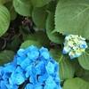 びっくりするほど青い紫陽花と幸せを感じる心について。