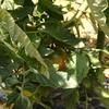 夏野菜の収穫!