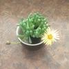 多肉植物 フェネストラリアの花が咲きました