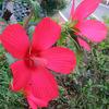 芙蓉の花7輪咲く