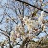 桜開花してきましたね!