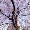 京都・紫野 - 上品蓮台寺のしだれ桜