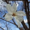 目立つ大型の白い花 コブシ