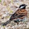 日本では珍鳥のシラガホオジロ 沖縄で久々に撮影