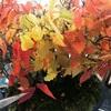 11月後半の盆栽の手入れ