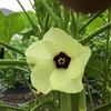 菜園:野菜の花