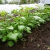 ジャガイモの芽かきと実験