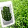 長命草(ボタンボウフウ)配合の潤命青汁に含まれる大麦若葉って何?