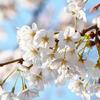 【2019年】気象会社6社による東京の桜の開花予想比較