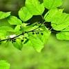梅雨の合間🍃⛰❀オオルリ♀~蓮の花🌸雨蛙マデ📷