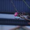 梅は咲いたか・・・桜は?