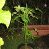 9/14 夏オクラ植えてみました。 35日目