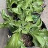 「アイスプラント」 珍しい野菜を栽培、育ててみよう