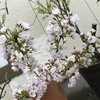 桜の盆栽・鉢植えが一番魅力な理由