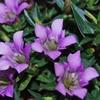 リンドウ(竜胆)の花言葉とは?どんな花?