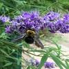セイヨウニンジンボクの花と実