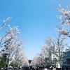 まだ咲いてたよ桜!鎌倉編