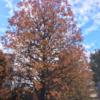 相模原市 中央区 ウエルネス前の紅葉 (11月25日現在)