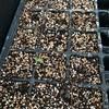 大玉トマト、じゃがいもの発芽を確認!桜の開花発表と同時で春を感じる