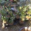 フジノミネ 早速鉢植え